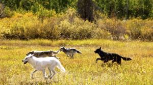 wolves-running