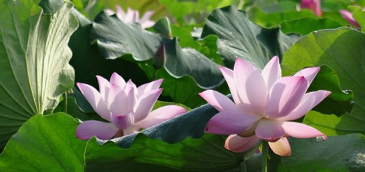 baihe-lotus (7)