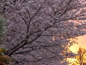 桜2010-04-03-3