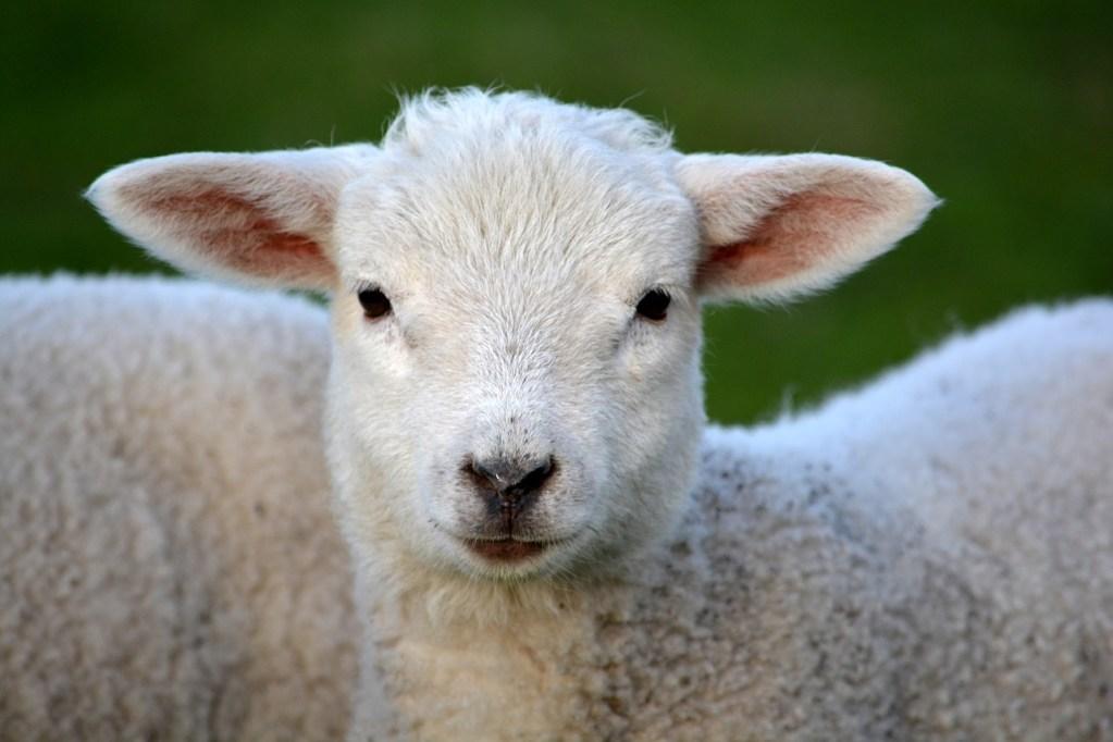lamb-292512_1280