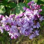 Spring Blooms: Rochester's Lilac Festival