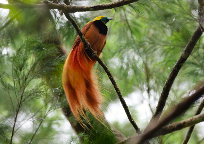 Nestling birds of Paradise first came to light in captivity   Earth     Ornithological sensation in Germany for the first time in captivity was  born in the Paradise bird  Breeding Reggiano birds of Paradise  Paradisaea  raggiana