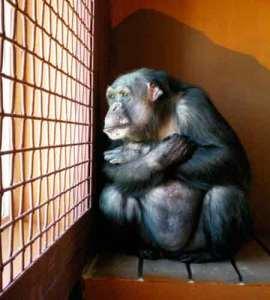 http://i1.wp.com/earthfirstnews.files.wordpress.com/2011/09/chimpssanctuarycleelum.jpg?resize=270%2C300