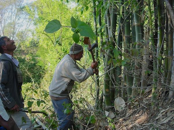 Harvesting bamboo