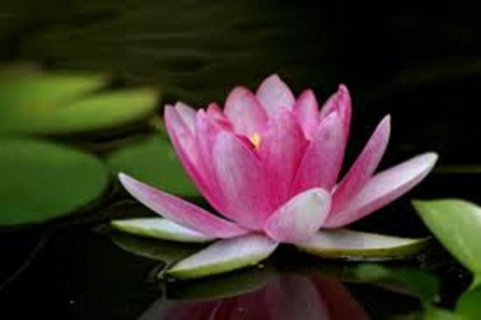 lotus-400