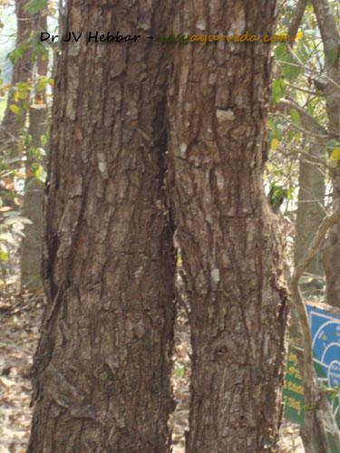 Khadira - Acacia catechu bark