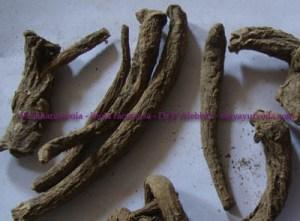 Pushkarmool - Inula racemosa