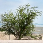 Babool Tree Uses, Dose, Side Effects, Ayurvedic Medicines