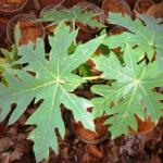 Papaya: Benefits Of Leaves, Latex, Fruit, Remedies, Side Effects