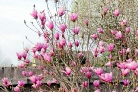 Alexander Magnolia Tree aka Tulip Tree