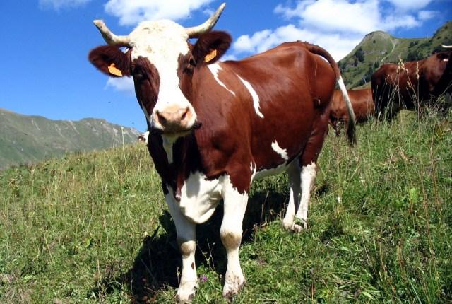 vache-002