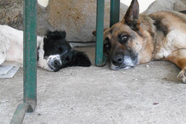 Kifli és a nagy cula, póniló méretű kutyák