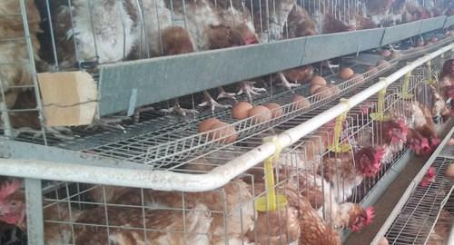 cages in kenya