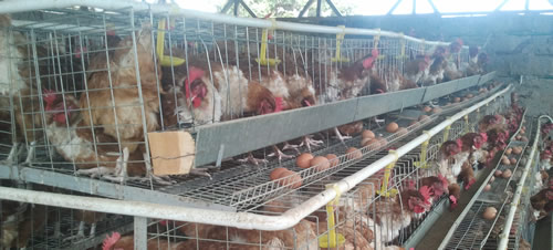 chicken-cage