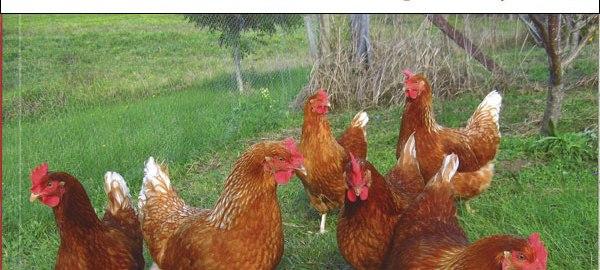 kienyeji chicken farming manual