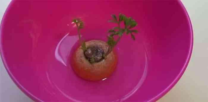 rebrotar zanahoria sin semilla