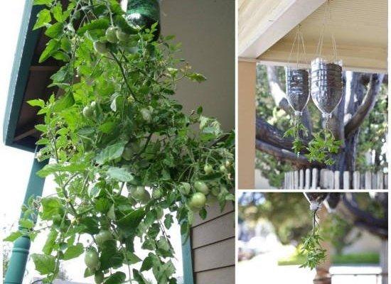 Como plantar tomates en botellas de plástico colgantes