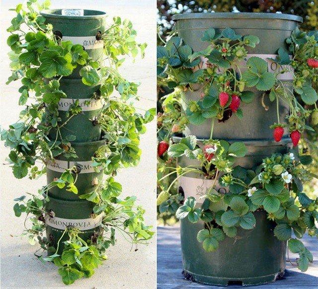 Cómo cultivar fresas en torres de depósitos