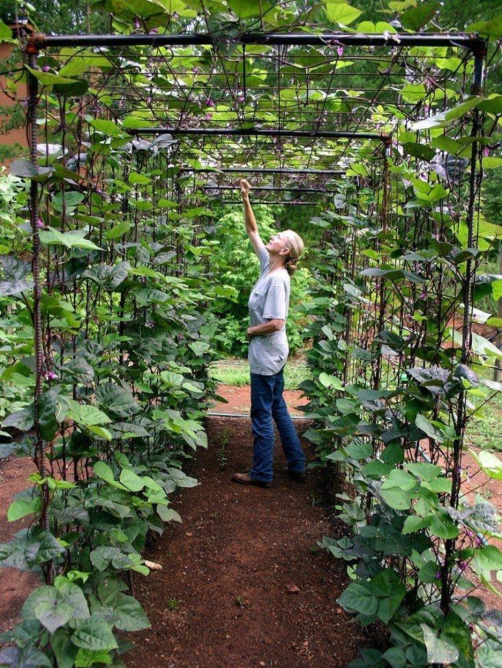 cultivo en enrejado de frijol