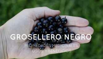 Propiedades medicinales, beneficios y usos del grosellero negro