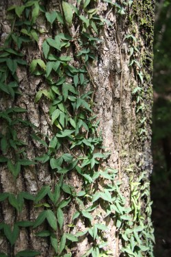 Small Of Cats Claw Vine
