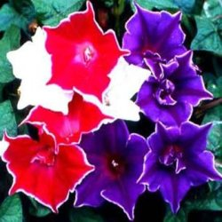 Outsidepride Morning Glory Kikyo-Zaki - 50 Seeds