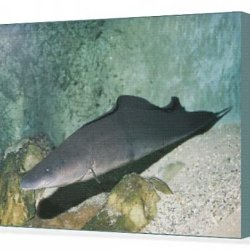 Canvas Print Of African Knife Fish