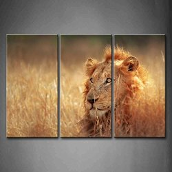 3 Panel Wall Art Big Male Lion Lying In Dense Grassland Kruger National Park South Africa Painting Pictures Print On Canvas Animal The Picture For Home Modern Decoration Piece (Stretched By Wooden Frame,Ready To Hang)