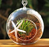 Hinterland Trading Starfish and Air Plant with Red Moss Hanging Glass Terrarium Kit