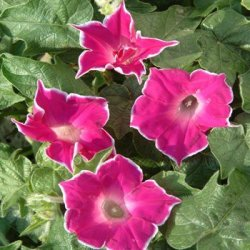 Outsidepride Morning Glory Red Picotee - 50 Seeds
