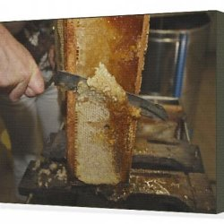 Canvas Print Of Beekeepers - Cutting Comb With Knife To Release Honey