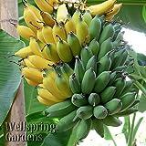 'Ice Cream' HARDY BANANA PLANT Tasty Fruit Tree LIVE PLANT Blue Java
