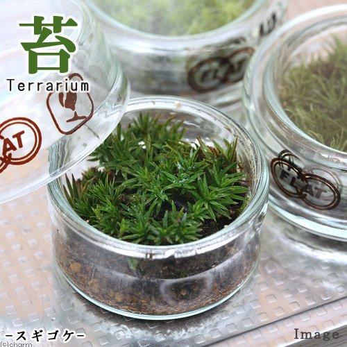 (観葉)苔Terrarium コスギゴケ フラットシャーレ 説明書付 本州・四国限定[生体]