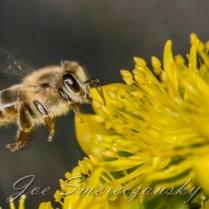African honeybee yellow - photo by Joe Smereczansky