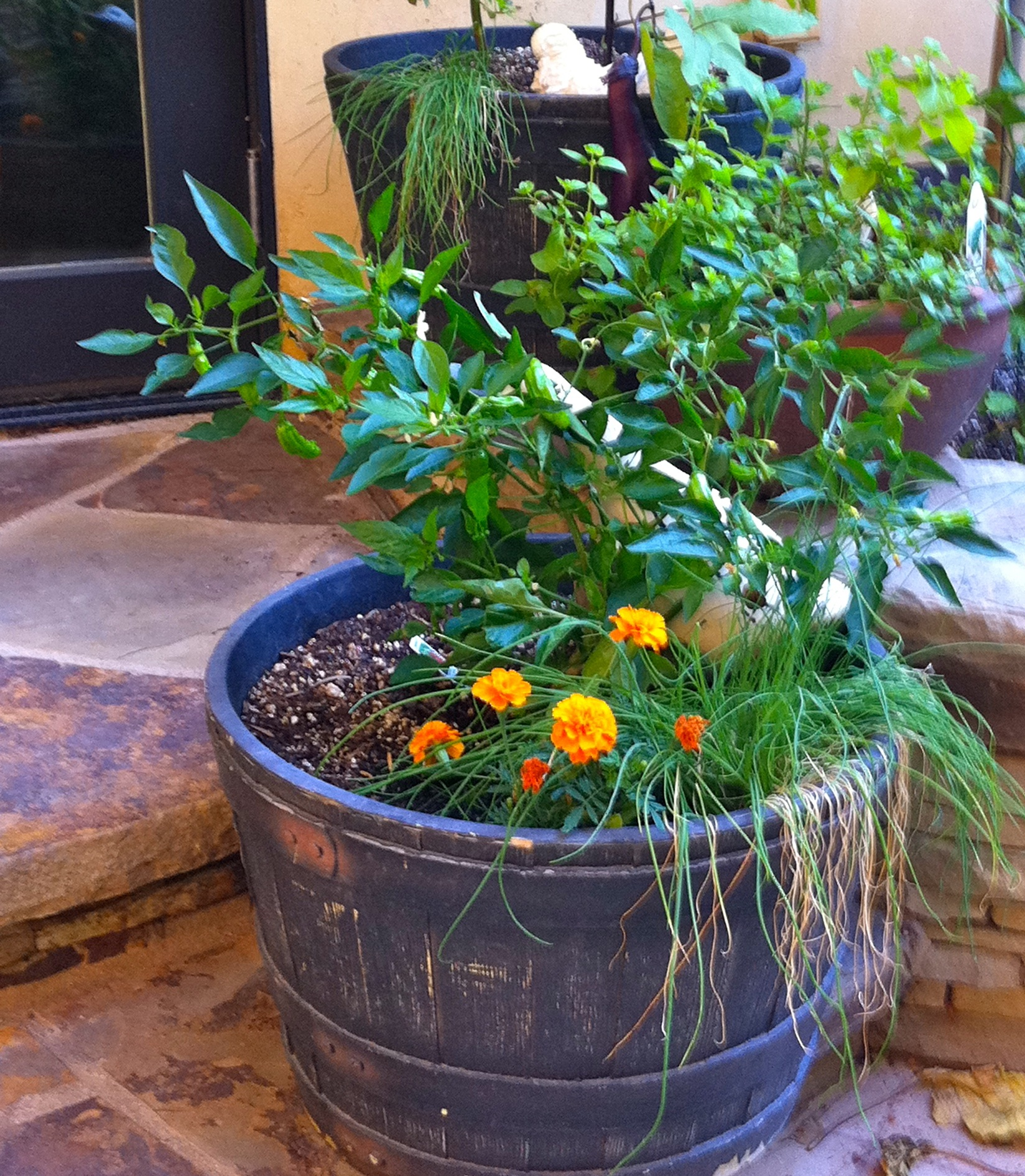 barrel garden. shishito peppers growing in a whiskey barrel garden container with marigolds