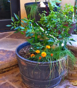 Shishito peppers growing in a whiskey barrel garden container with marigolds