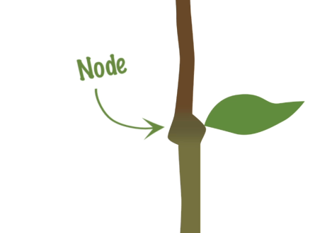 Node_on_a_plant_stem_where_leaves_grow