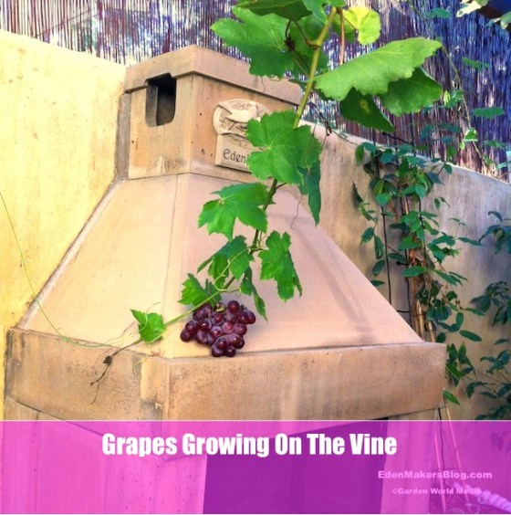 Grape-on-the-vine-at-EdenMakers-House