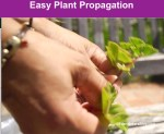 Remove_lower_leaves_of_stem_cutting_for_propagation as seen with this geranium