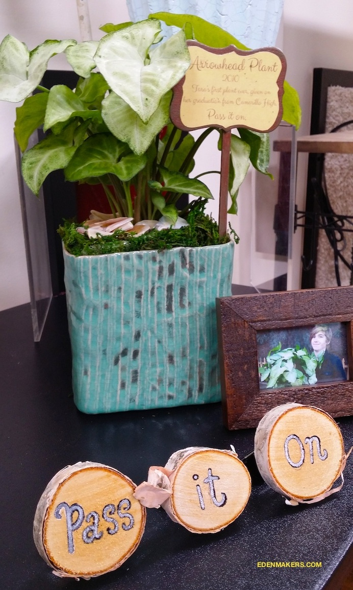 Arrowhead-plant-nephtitis-legacy-plant-with-framed-photo-shirley-bovshow