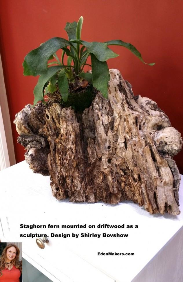 DRIFTWOOD-PLANTER-STAGHORN-FERN-as-sculpture-SHIRLEY-BOVSHOW