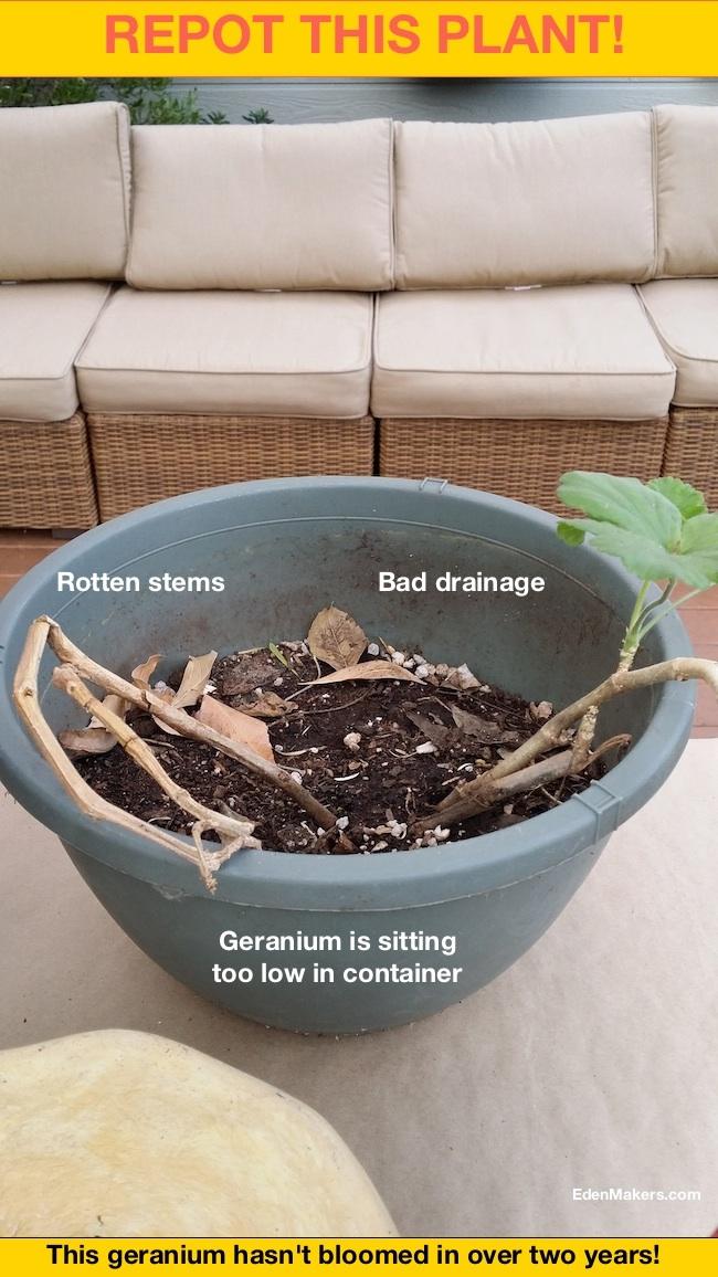 Geranium-plant-sitting-too-low-in-container-edenmakers