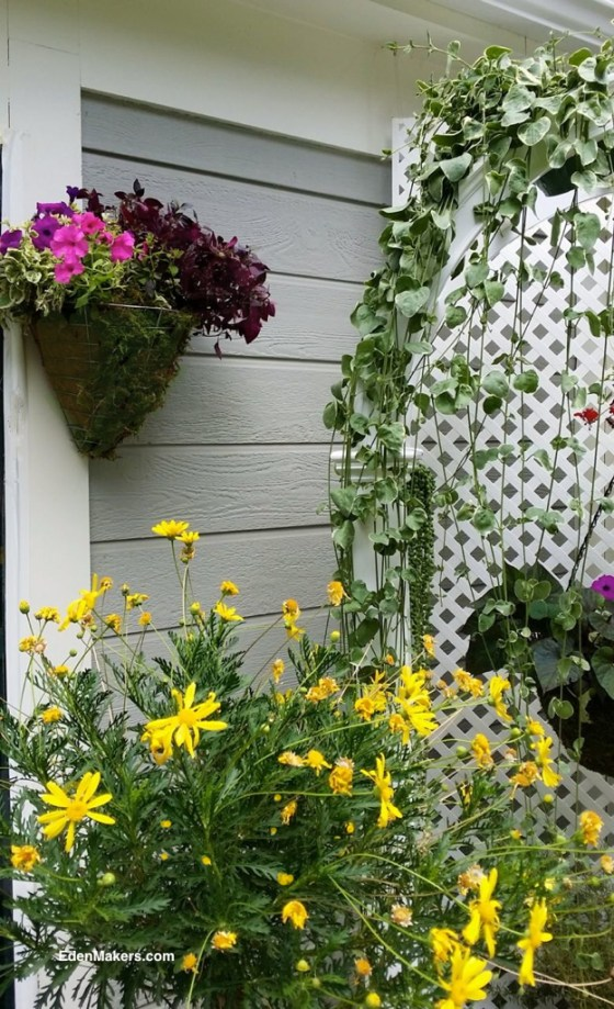hanging-metal-basket-with-pink-petunias-plum-foliage-and-yellow-daisy-designed-by-shirley-bovshow-for-small-narrow-garden
