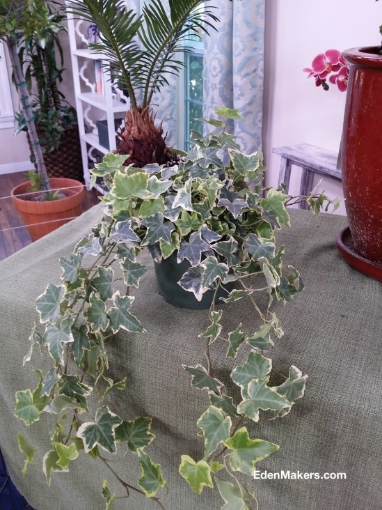 variegated-ivy-hedera-helix-is-poisonous-plant-edenmakersblog.com_.jpg