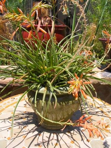 Aloe Grassy Lassie
