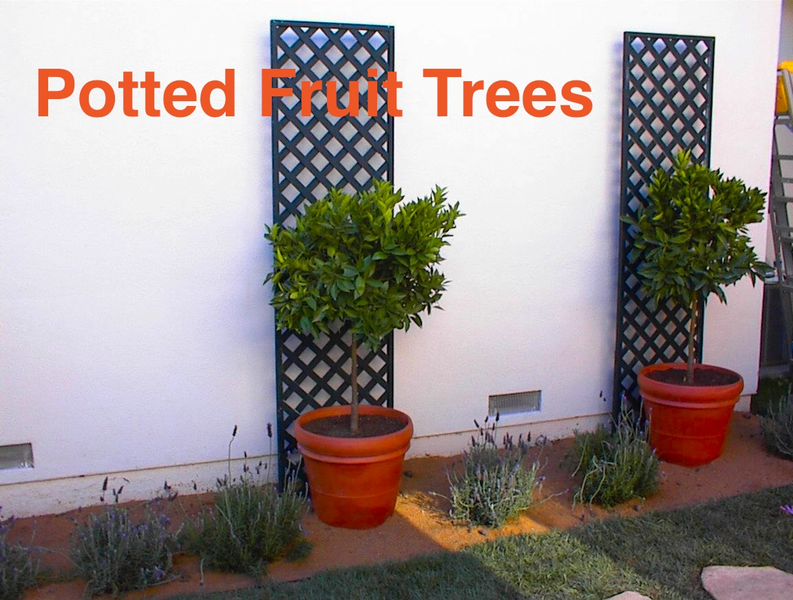 Potted Citrus And Fruit Tress