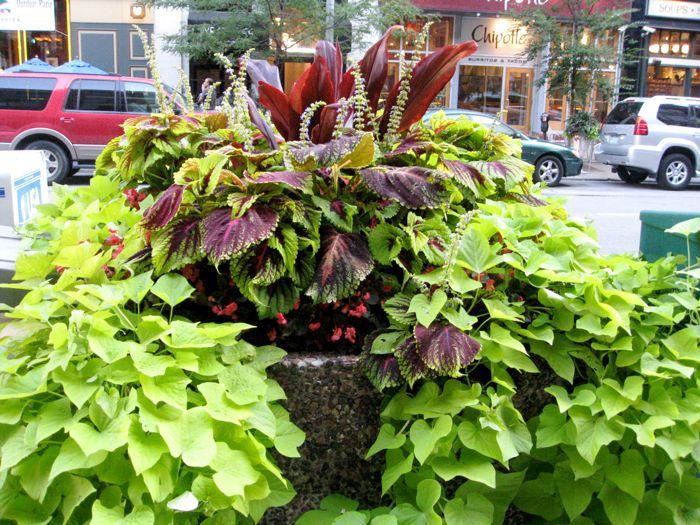 chicago-street-container-garden-sweet-potato-coleus-dracaena