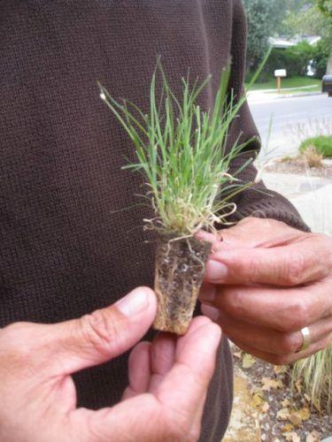 uc-verde-lawn plug is a drought tolerant buffalo grass