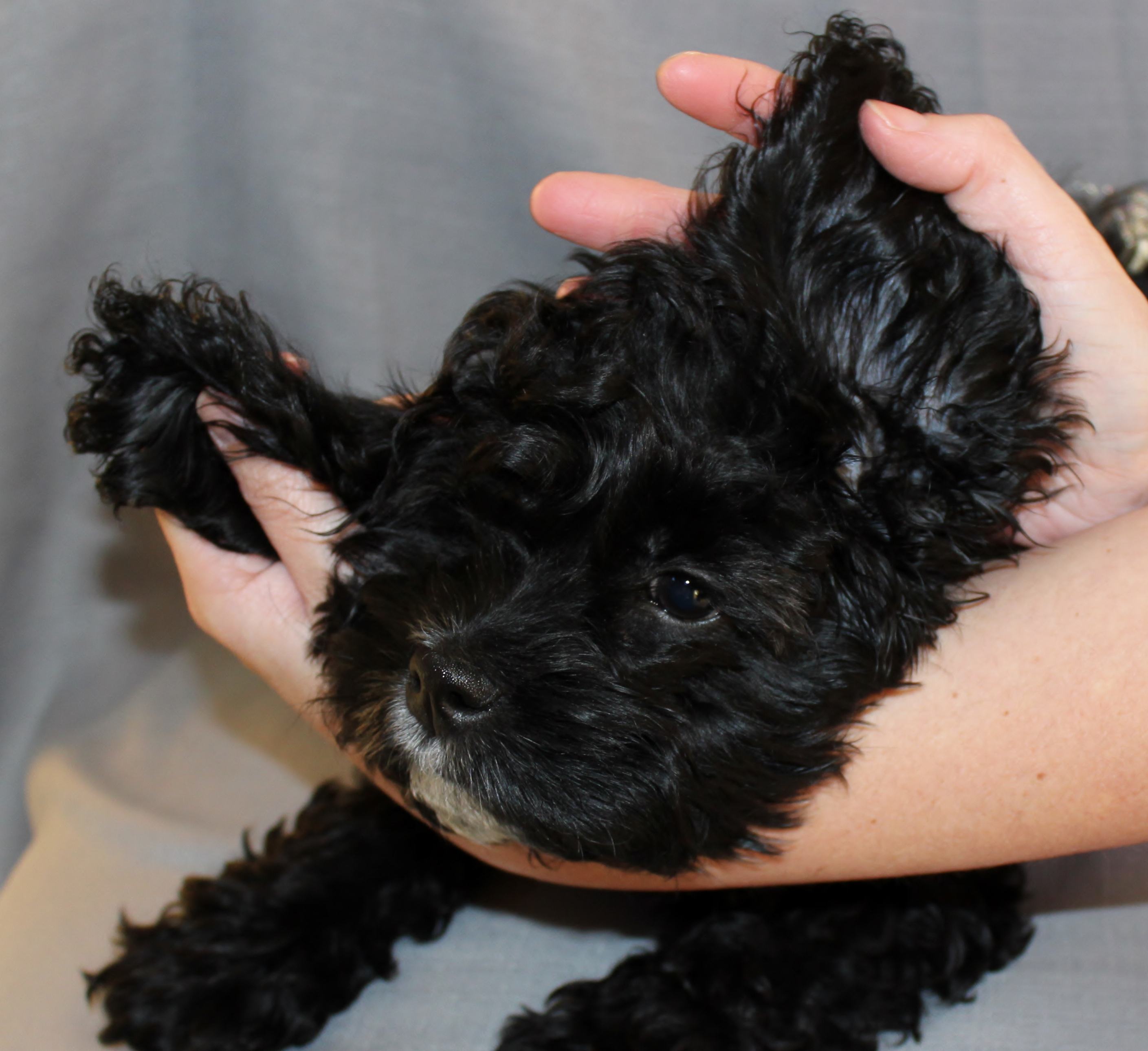 Fullsize Of How To Treat Dog Ear Infection Without Vet