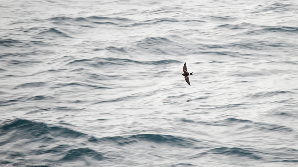 Stormpetrel_tw7_7537-edit16x9web.